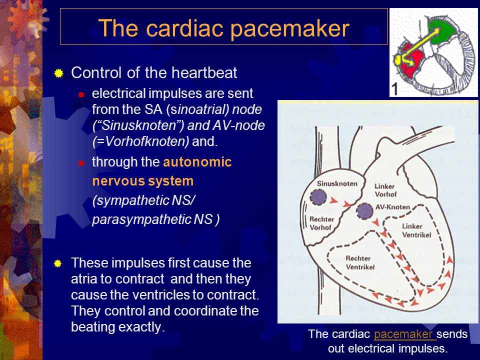 The cardiac pacemaker Control of the heartbeat electrical impulses are sent from the SA (sinoatrial) node (Sinusknoten) and AV-node (=Vorhofknoten) and.