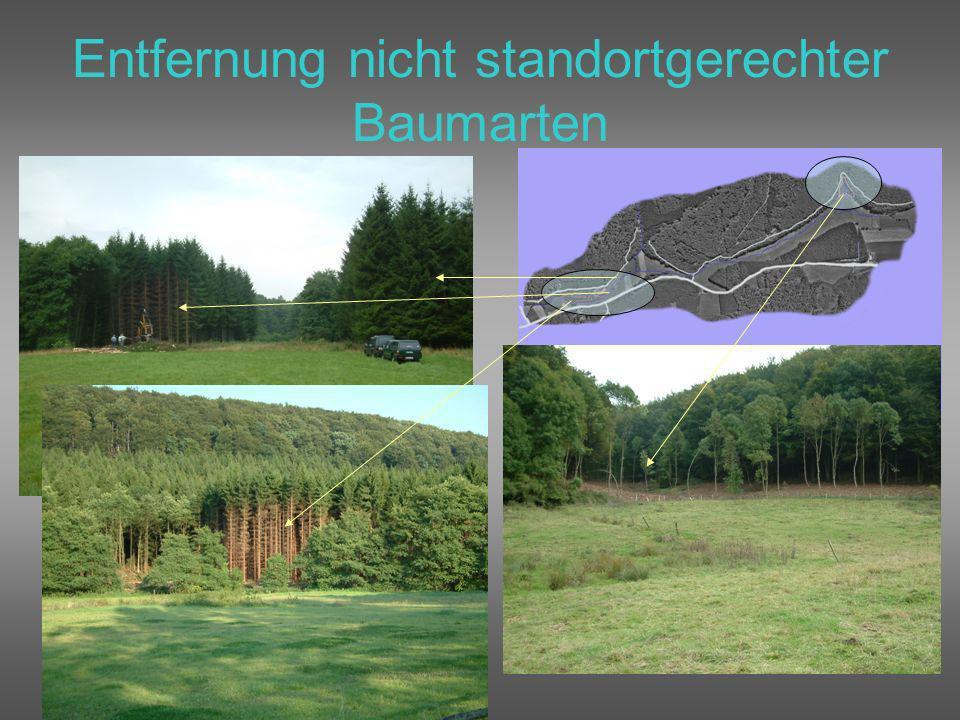 Entfernung nicht standortgerechter Baumarten
