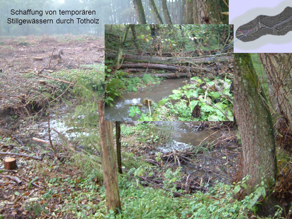 Schaffung von temporären Stillgewässern durch Totholz