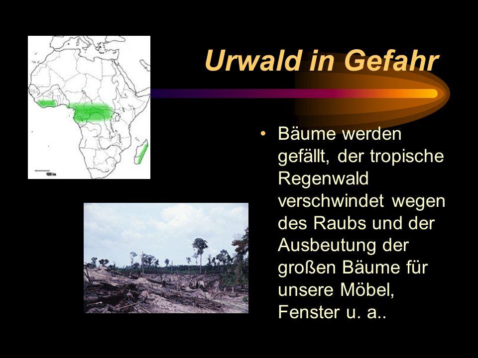 Urwald in Gefahr Bäume werden gefällt, der tropische Regenwald verschwindet wegen des Raubs und der Ausbeutung der großen Bäume für unsere Möbel, Fens