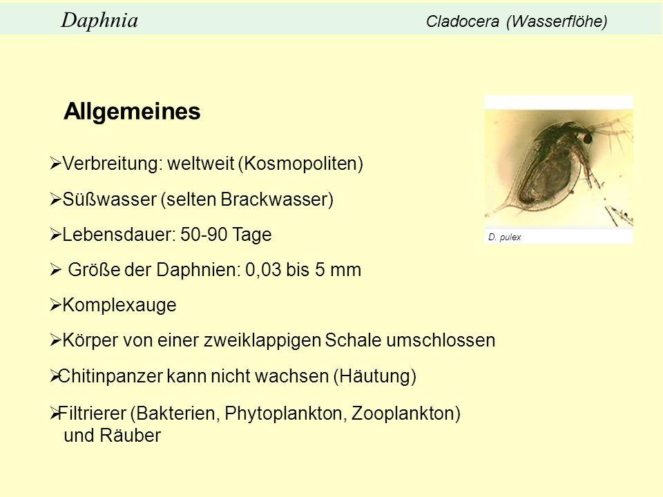 Verbreitung: weltweit (Kosmopoliten) Süßwasser (selten Brackwasser) Lebensdauer: 50-90 Tage Größe der Daphnien: 0,03 bis 5 mm Komplexauge Körper von e
