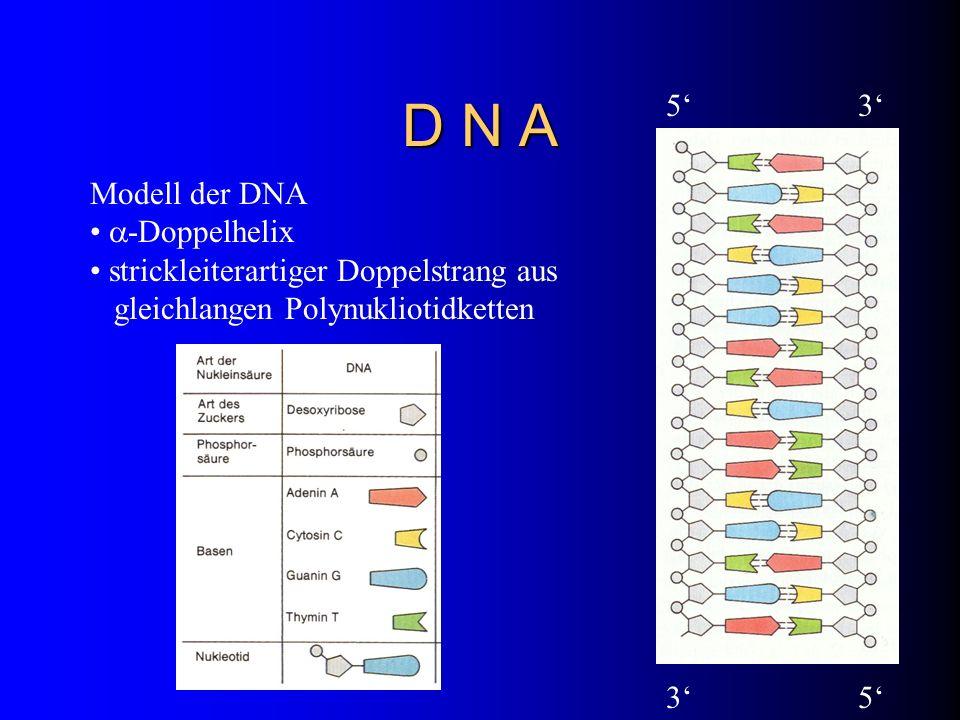 D N A Modell der DNA -Doppelhelix strickleiterartiger Doppelstrang aus gleichlangen Polynukliotidketten 53 53