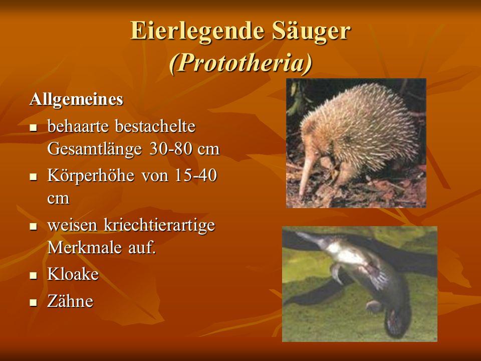 Eierlegende Säuger (Prototheria) Allgemeines behaarte bestachelte Gesamtlänge 30-80 cm behaarte bestachelte Gesamtlänge 30-80 cm Körperhöhe von 15-40