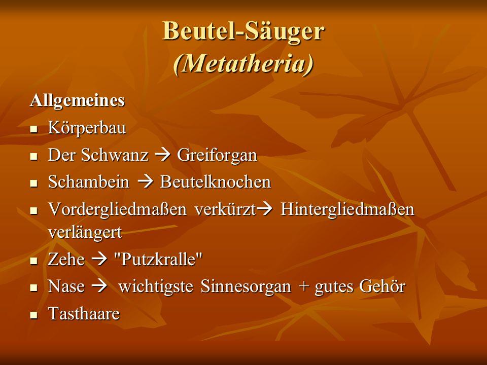 Beutel-Säuger (Metatheria) Allgemeines Körperbau Körperbau Der Schwanz Greiforgan Der Schwanz Greiforgan Schambein Beutelknochen Schambein Beutelknoch