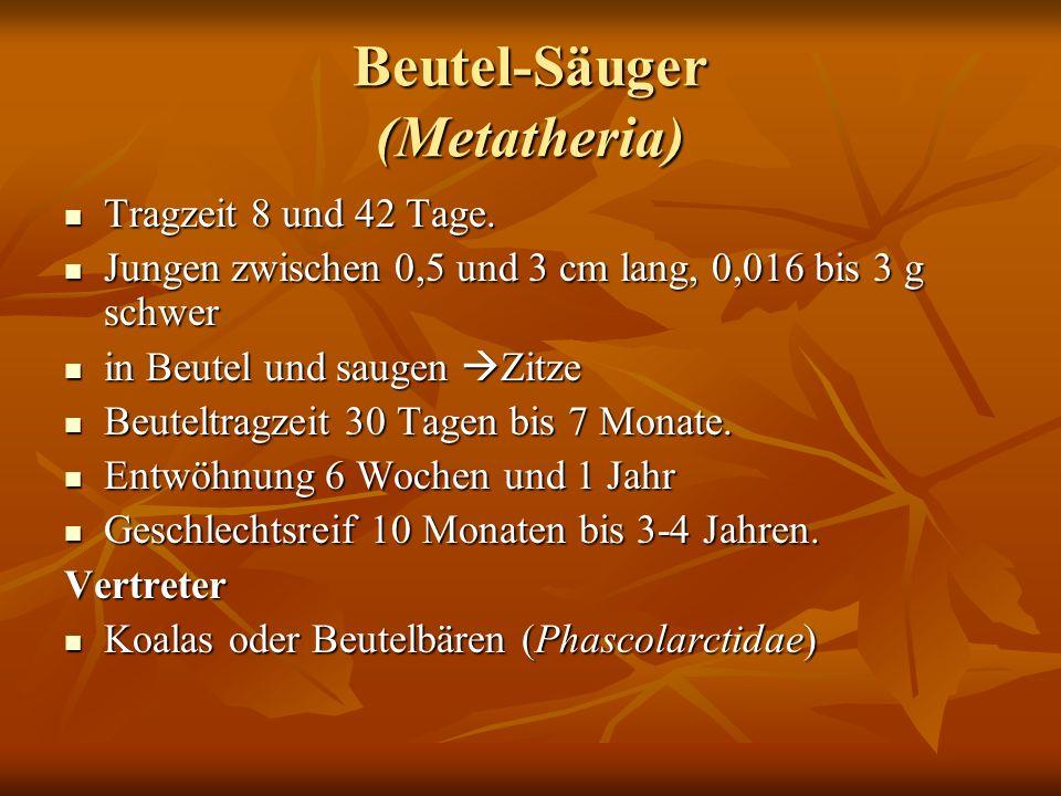 Beutel-Säuger (Metatheria) Tragzeit 8 und 42 Tage. Tragzeit 8 und 42 Tage. Jungen zwischen 0,5 und 3 cm lang, 0,016 bis 3 g schwer Jungen zwischen 0,5