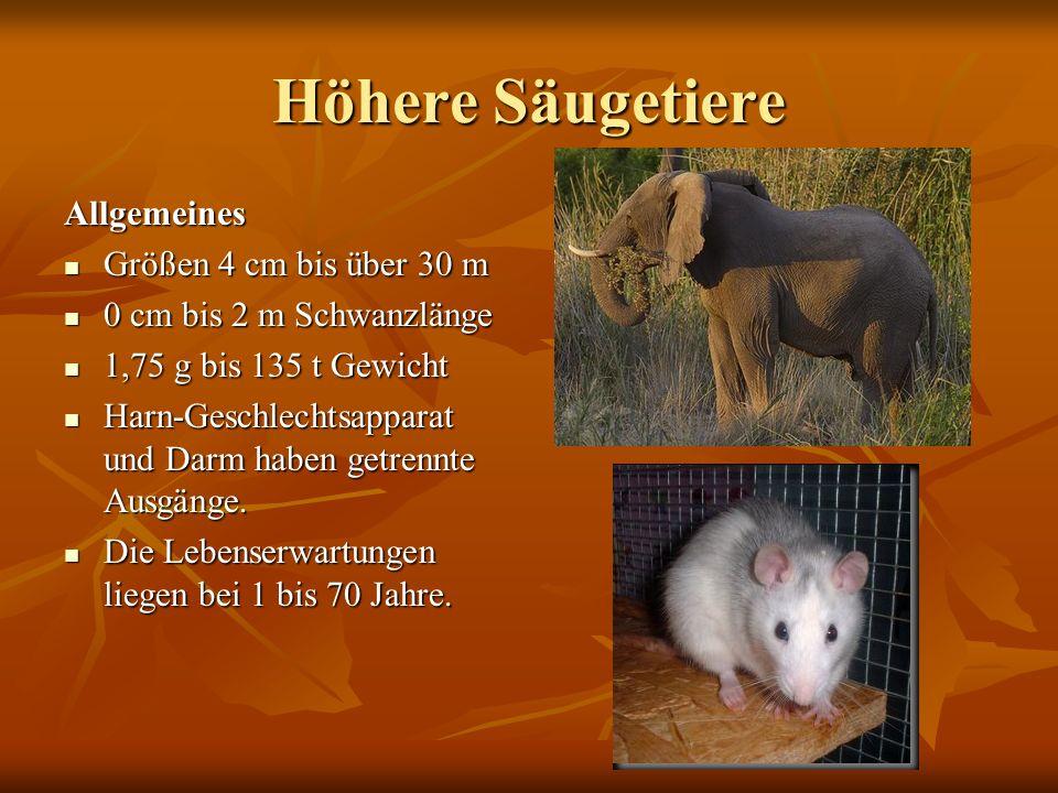 Höhere Säugetiere Allgemeines Größen 4 cm bis über 30 m Größen 4 cm bis über 30 m 0 cm bis 2 m Schwanzlänge 0 cm bis 2 m Schwanzlänge 1,75 g bis 135 t
