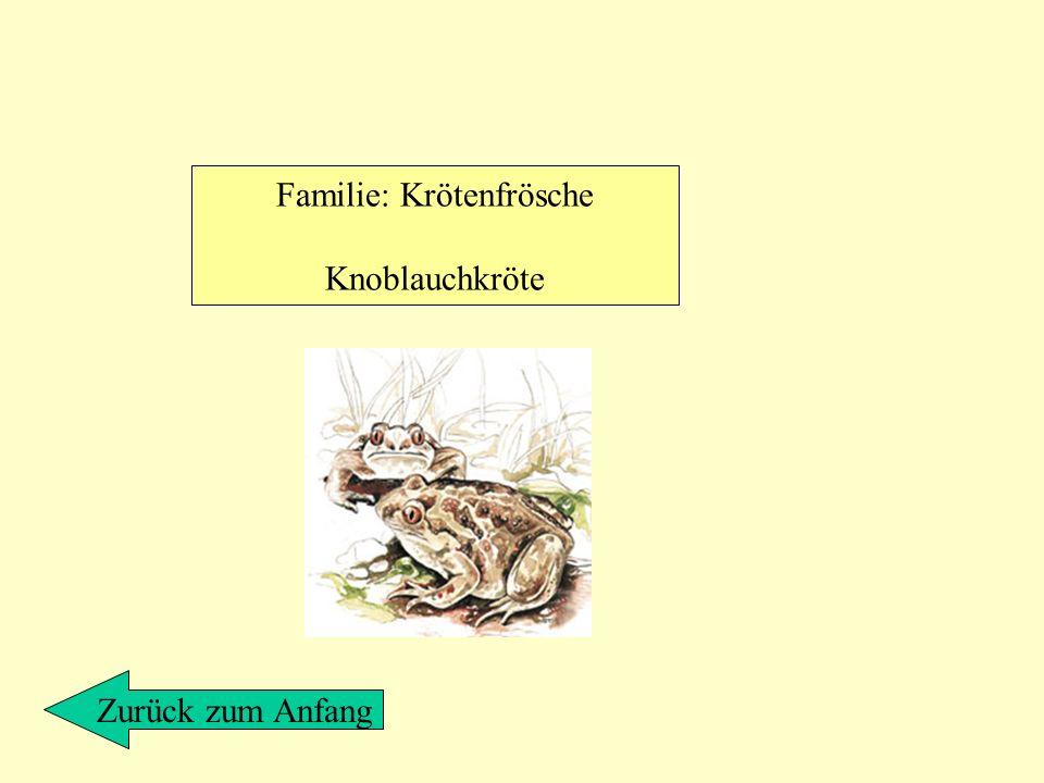 Familie: Krötenfrösche Knoblauchkröte Zurück zum Anfang