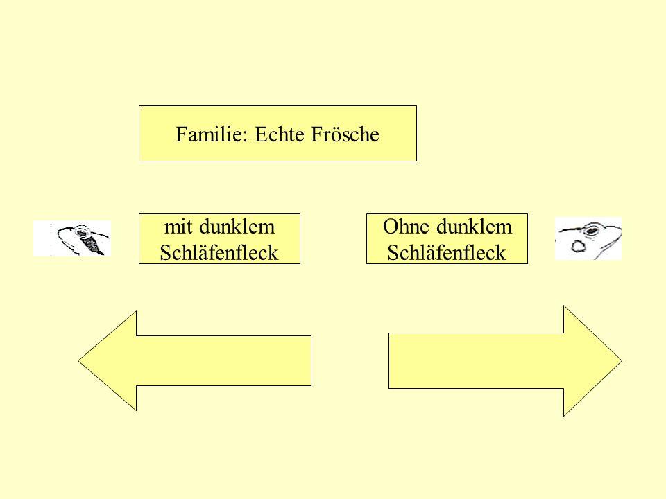 Familie: Echte Frösche mit dunklem Schläfenfleck Ohne dunklem Schläfenfleck