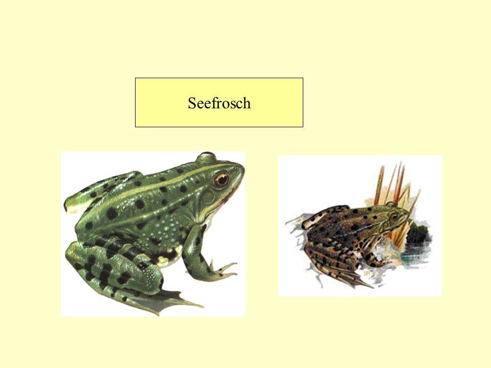 Seefrosch