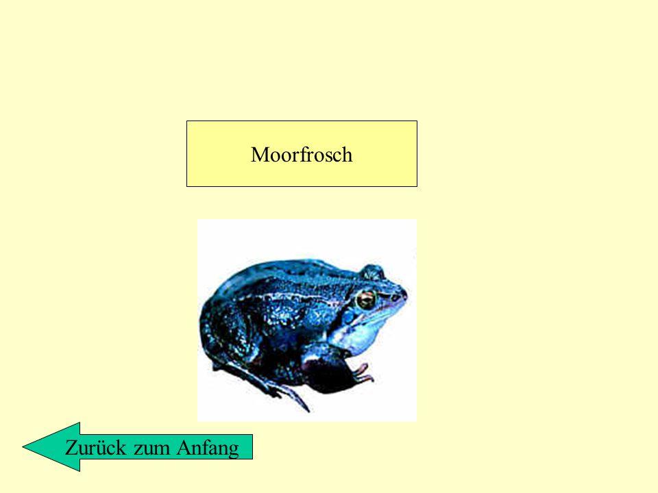 Moorfrosch Zurück zum Anfang