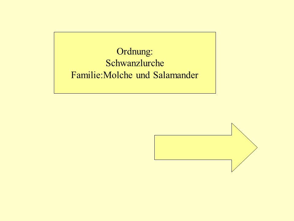 Gattung:Salamander schwarz Mit gelben Flecken Seitlich zusammengedrückter Schwanz mit Flossensaum Runder Schwanz Ohne Flossensaum Gattung: Wassermolche