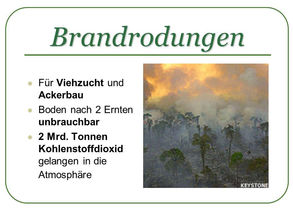 Brandrodungen Für Viehzucht und Ackerbau Boden nach 2 Ernten unbrauchbar 2 Mrd. Tonnen Kohlenstoffdioxid gelangen in die Atmosphäre