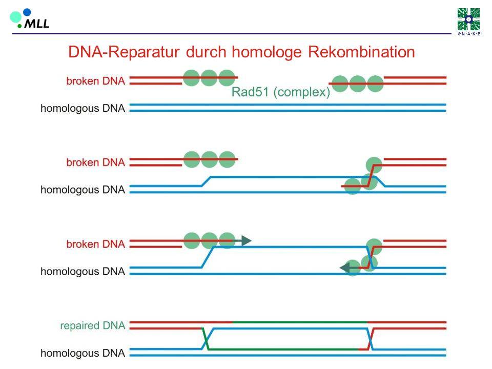 S N A K ES N A K E DNA-Reparatur durch homologe Rekombination