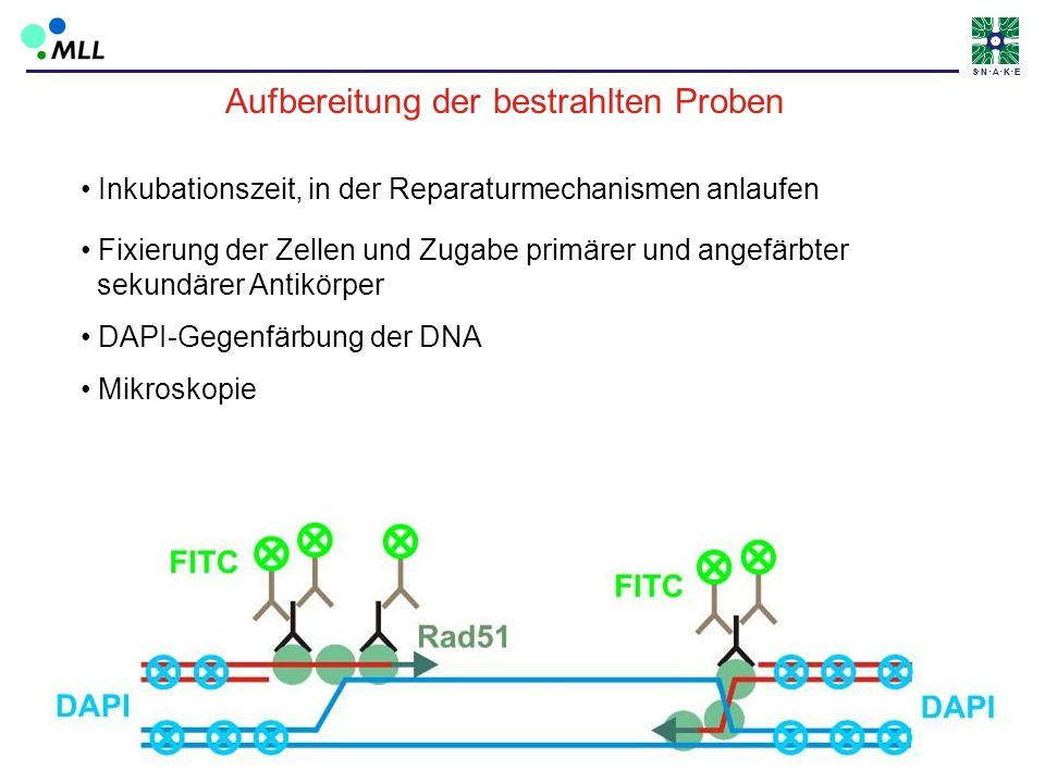 S N A K ES N A K E Inkubationszeit, in der Reparaturmechanismen anlaufen Fixierung der Zellen und Zugabe primärer und angefärbter sekundärer Antikörpe