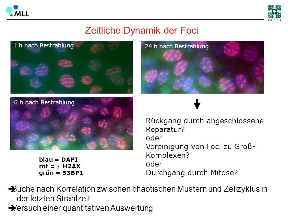 S N A K E sch14_3 und sch20_3(Volker) blau = DAPI rot = H2AX grün = 53BP1 1 h nach Bestrahlung 6 h nach Bestrahlung 24 h nach Bestrahlung Rückgang dur