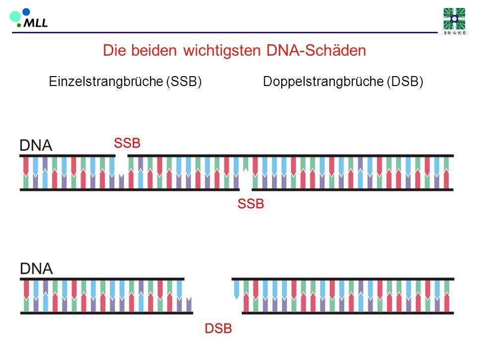 S N A K ES N A K E Einzelstrangbrüche (SSB) Doppelstrangbrüche (DSB) Die beiden wichtigsten DNA-Schäden