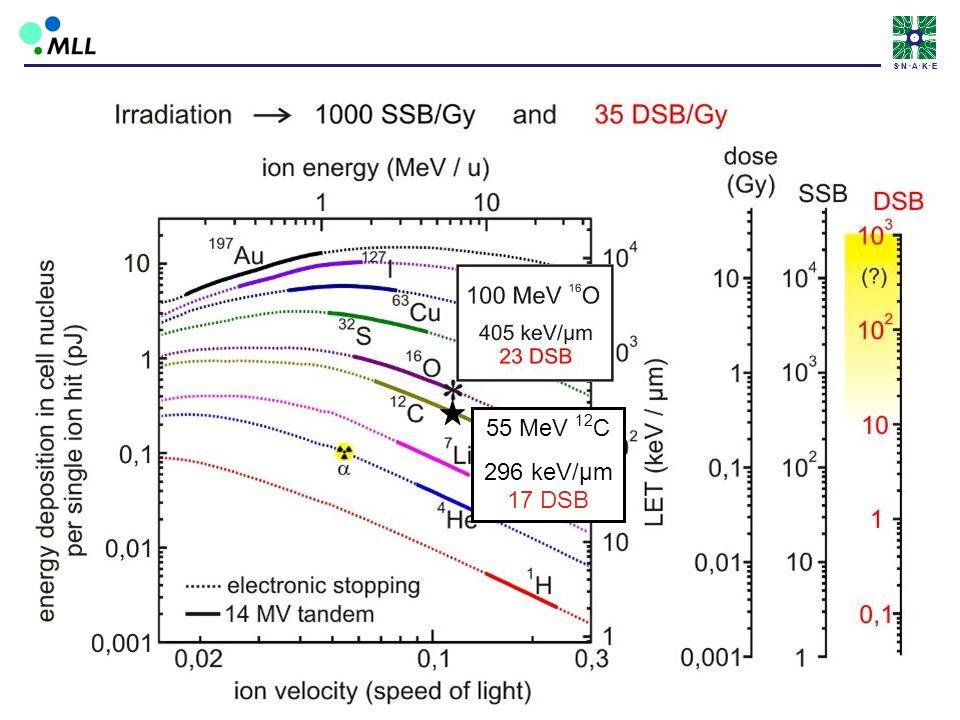 S N A K ES N A K E 55 MeV 12 C 296 keV/µm 17 DSB