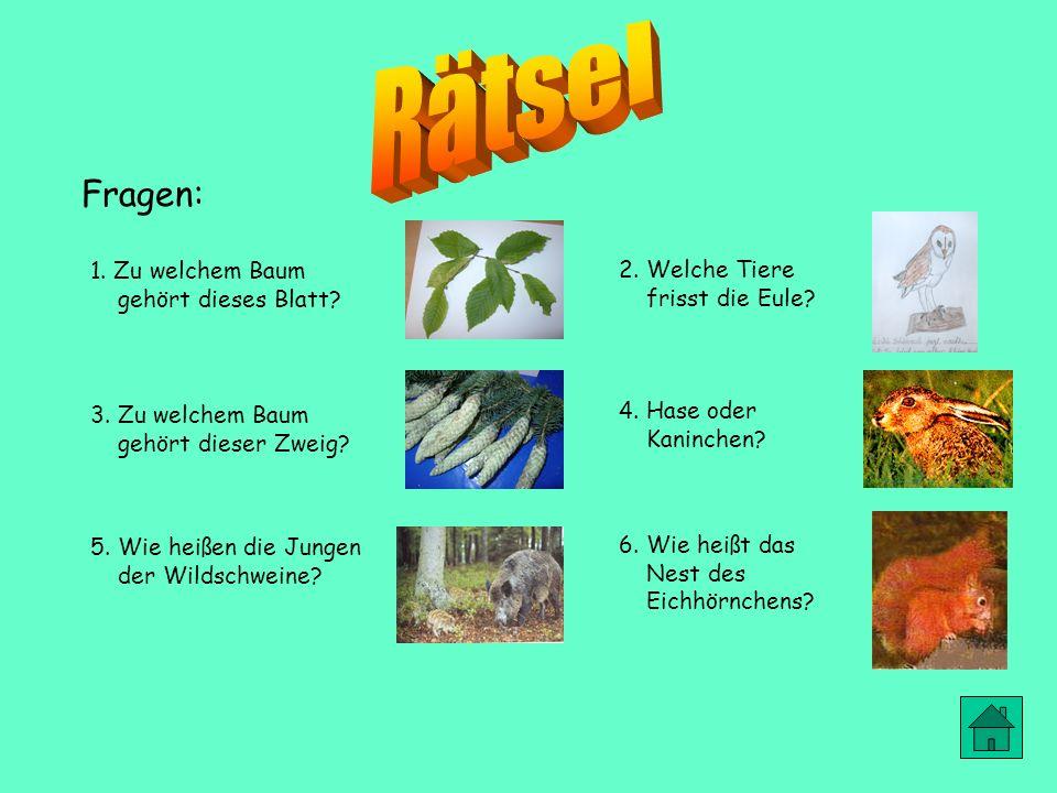Der Rothirsch lebt in Wäldern und Gebirgen. Das weibliche Tier wirft im Frühjahr ein bis zwei Junge. Er frisst Sträucher und Rinde von jungen Bäumen.