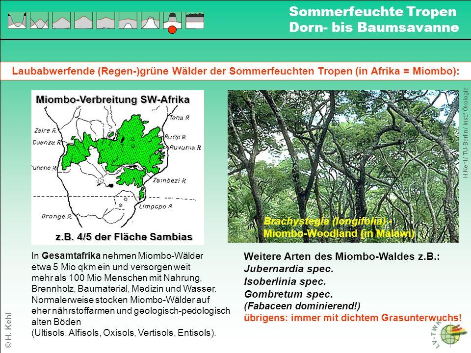 Laubabwerfende (Regen-)grüne Wälder der Sommerfeuchten Tropen (in Afrika = Miombo): Brachystegia (longifolia) - Miombo-Woodland (in Malawi) Weitere Arten des Miombo-Waldes z.B.: Jubernardia spec.
