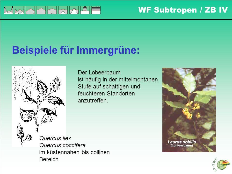 Beispiele für Immergrüne: Quercus ilex Quercus coccifera im küstennahen bis collinen Bereich Der Lobeerbaum ist häufig in der mittelmontanen Stufe auf