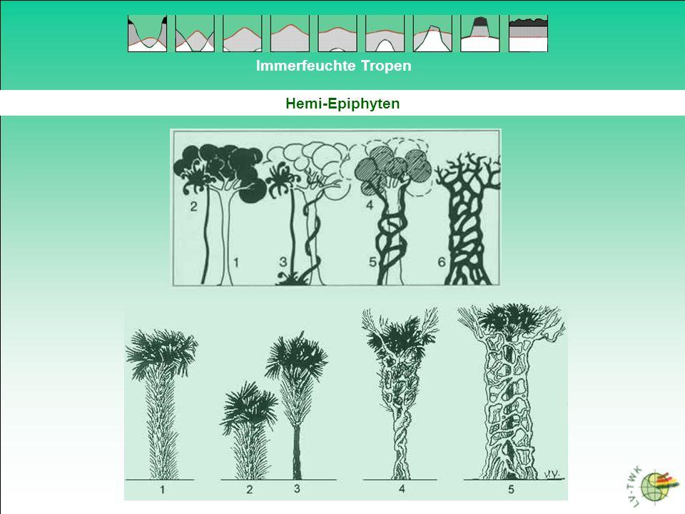 Immerfeuchte Tropen Hemi-Epiphyten