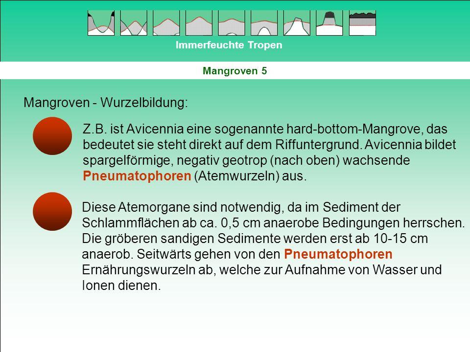 Immerfeuchte Tropen Mangroven 5 Mangroven - Wurzelbildung: Z.B. ist Avicennia eine sogenannte hard-bottom-Mangrove, das bedeutet sie steht direkt auf