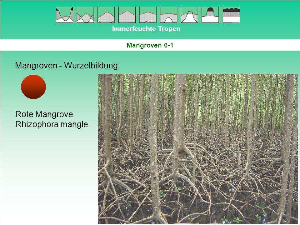 Immerfeuchte Tropen Mangroven 6-1 Mangroven - Wurzelbildung: Rote Mangrove Rhizophora mangle