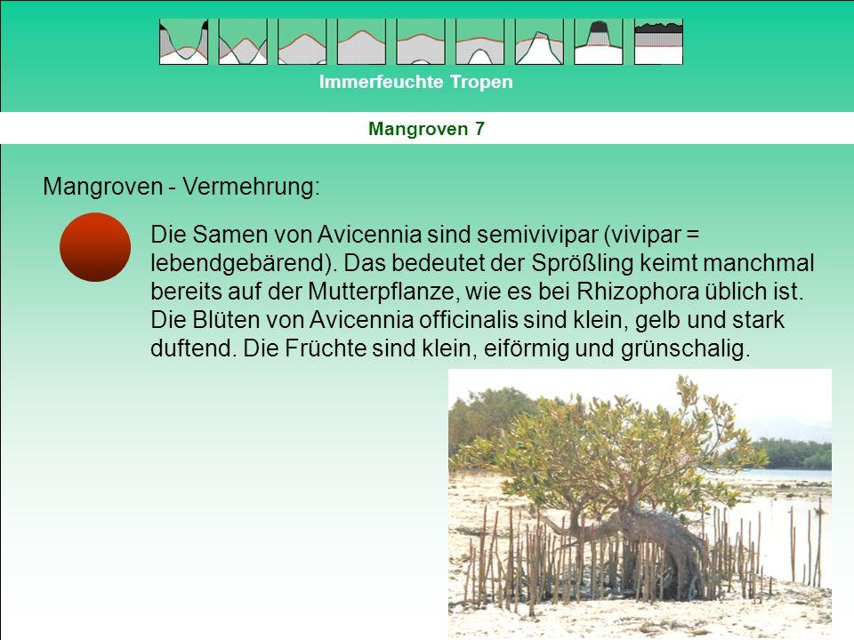 Immerfeuchte Tropen Mangroven 7 Mangroven - Vermehrung: Die Samen von Avicennia sind semivivipar (vivipar = lebendgebärend). Das bedeutet der Sprößlin