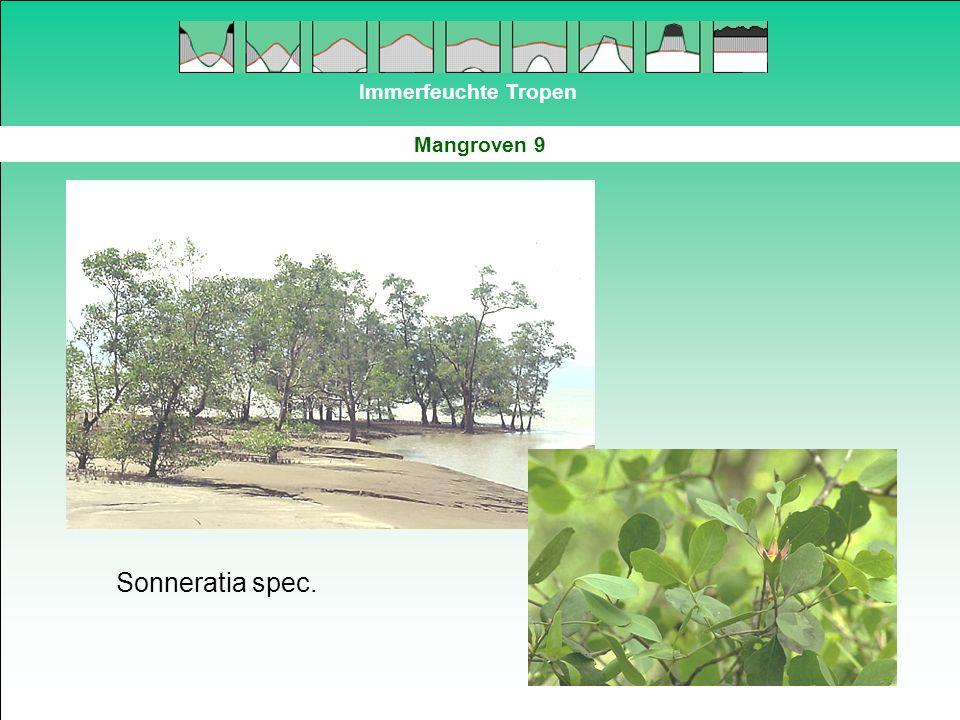 Immerfeuchte Tropen Mangroven 9 Sonneratia spec.