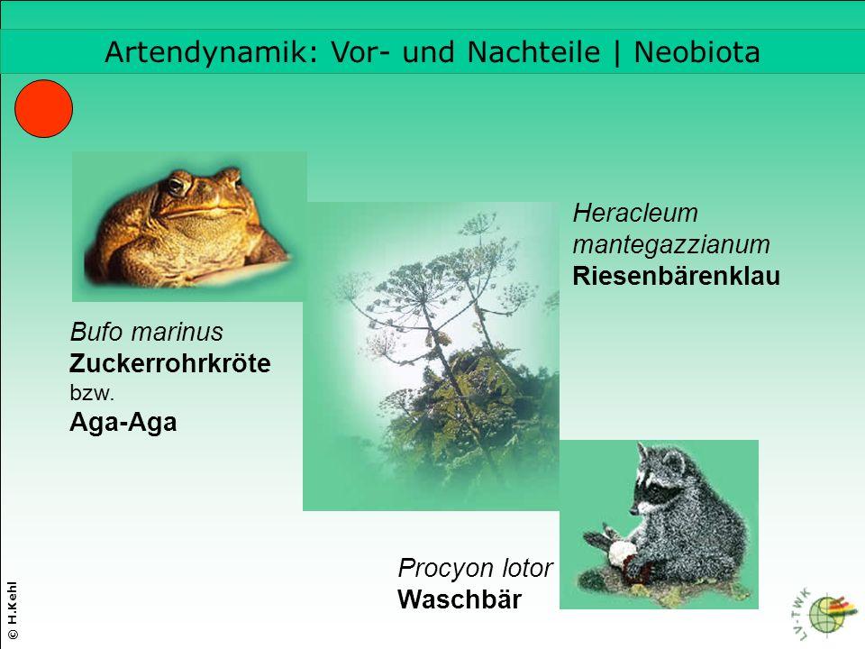 © H.Kehl Artendynamik: Vor- und Nachteile | Neobiota Heracleum mantegazzianum Riesenbärenklau Bufo marinus Zuckerrohrkröte bzw.