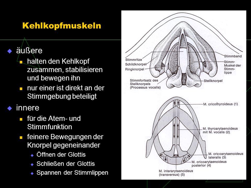 Kehlkopfmuskeln äußere halten den Kehlkopf zusammen, stabilisieren und bewegen ihn nur einer ist direkt an der Stimmgebung beteiligt innere für die At