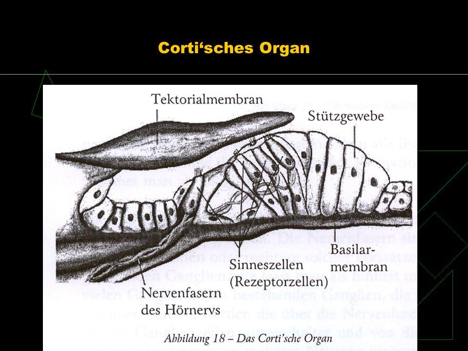 Cortisches Organ