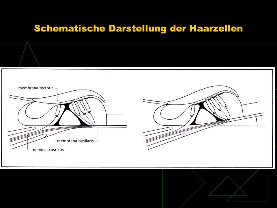 Schematische Darstellung der Haarzellen