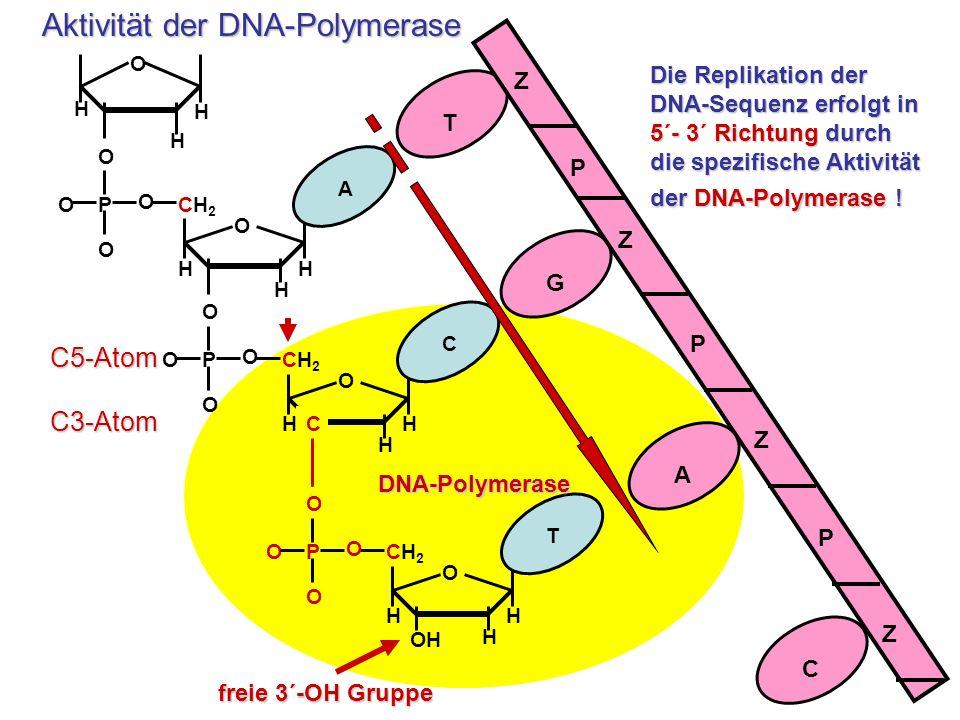 Die Replikation der DNA-Sequenz erfolgt in 5´- 3´ Richtung durch die spezifische Aktivität der DNA-Polymerase ! P O O O O O H HH CH2CH2 A P O O O O O