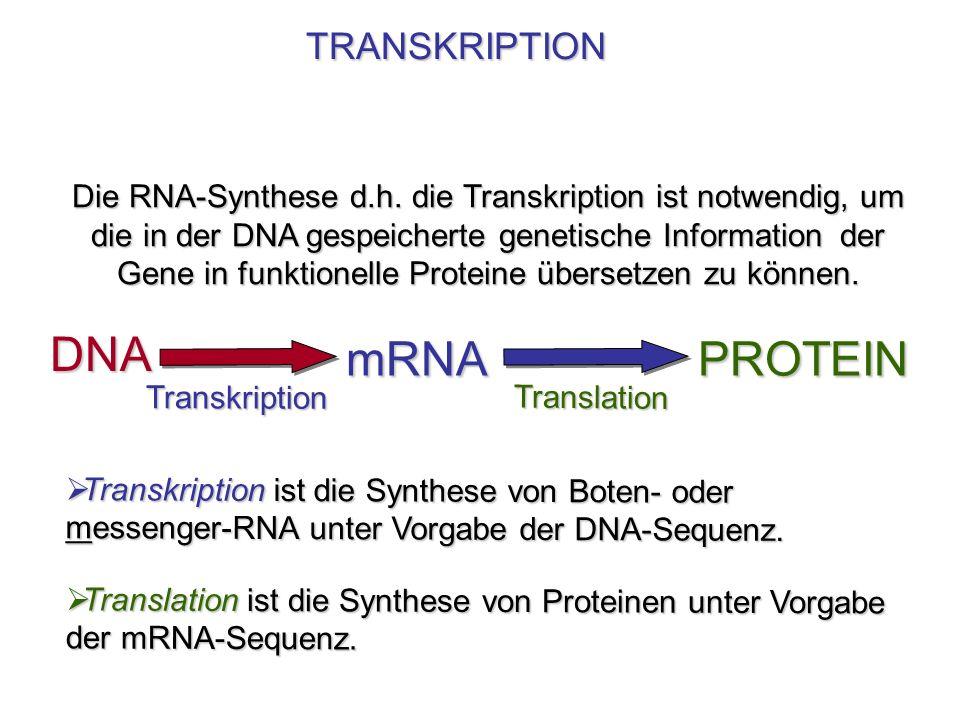 Die RNA-Synthese d.h. die Transkription ist notwendig, um die in der DNA gespeicherte genetische Information der Gene in funktionelle Proteine überset