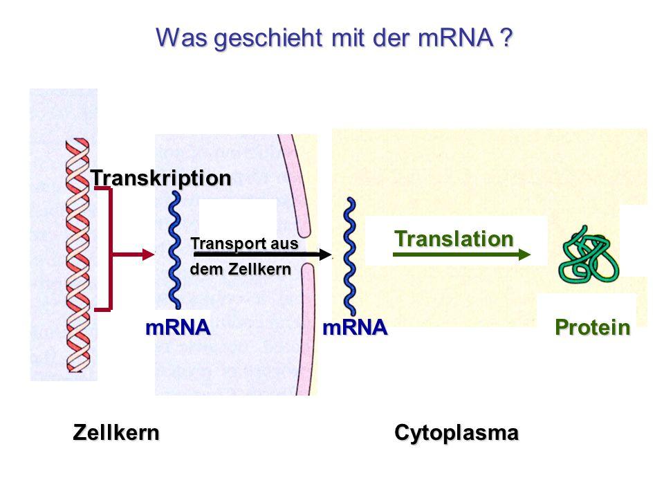 Transport aus dem Zellkern Zellkern Transkription mRNA Translation Cytoplasma mRNAProtein Was geschieht mit der mRNA ?