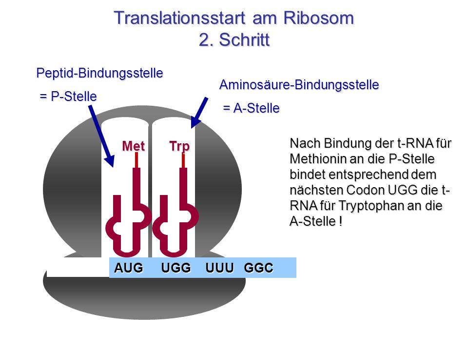Aminosäure-Bindungsstelle = A-Stelle = A-StellePeptid-Bindungsstelle = P-Stelle = P-Stelle Met AUG UGG UUU GGC Nach Bindung der t-RNA für Methionin an
