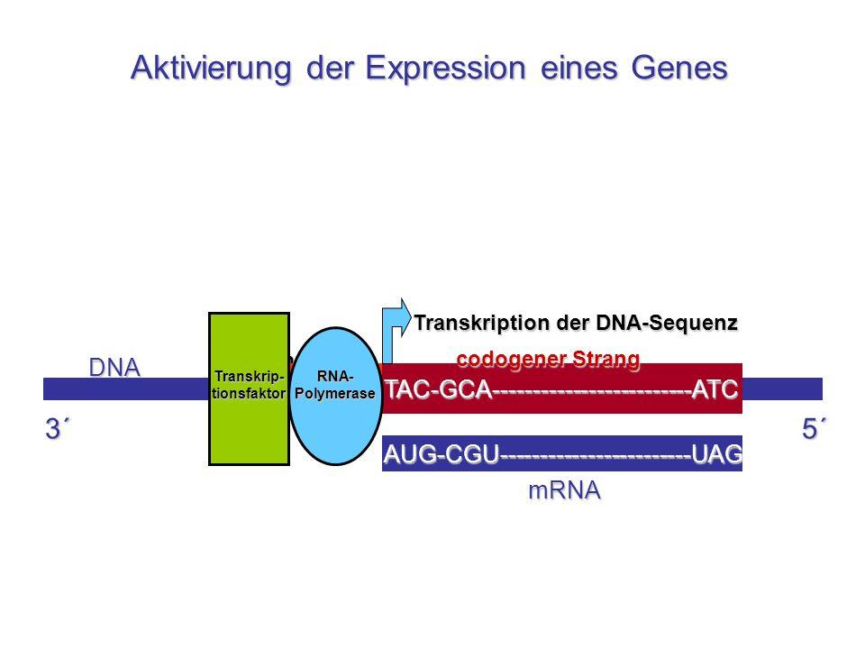 Promotor TAC-GCA-------------------------ATC DNA codogener Strang TATA RNA- Polymerase Transkrip- tionsfaktor Transkription der DNA-Sequenz AUG-CGU---