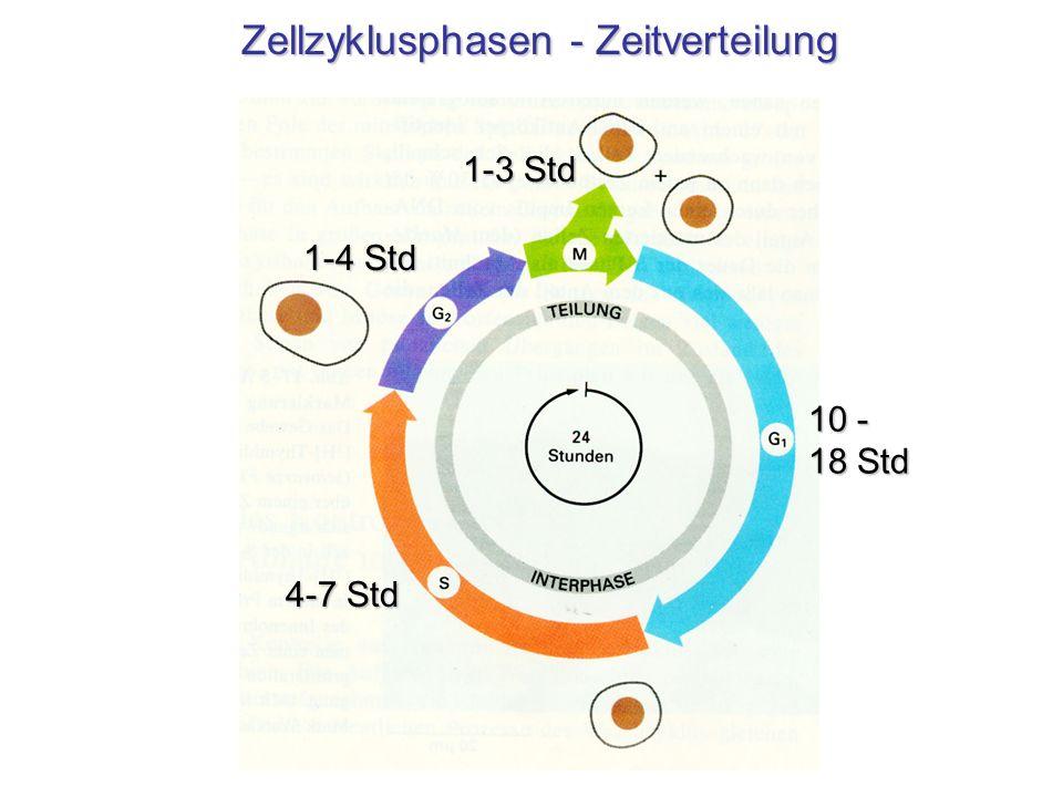 Zellzyklusphasen - Zeitverteilung 4-7 Std 1-4 Std 1-3 Std 10 - 18 Std