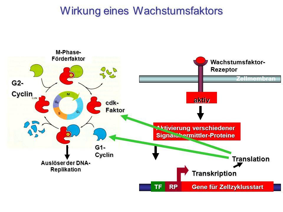 inaktivaktiv Gene für Zellzyklusstart TATATFRP Transkription Aktivierung verschiedener Signalübermittler-Proteine Translation M-Phase- Förderfaktor Au