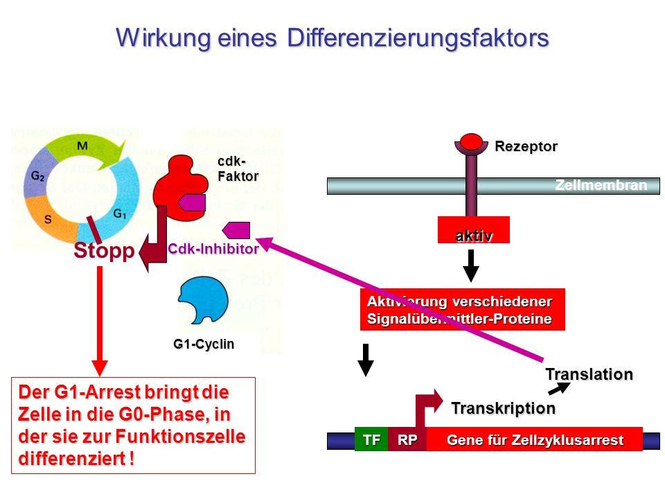 cdk- Faktor G1-Cyclin inaktivaktiv Gene für Zellzyklusarrest TATATFRP Transkription Aktivierung verschiedener Signalübermittler-Proteine TranslationRe