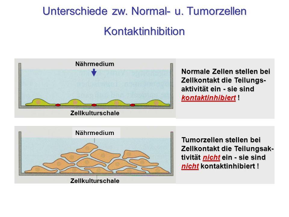 Nährmedium Zellkulturschale NährmediumZellkulturschale Tumorzellen stellen bei Zellkontakt die Teilungsak- tivität nicht ein - sie sind nicht kontakti