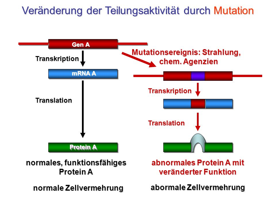 normales, funktionsfähiges Protein A abnormales Protein A mit veränderter Funktion Mutationsereignis: Strahlung, chem. Agenzien Transkription Translat