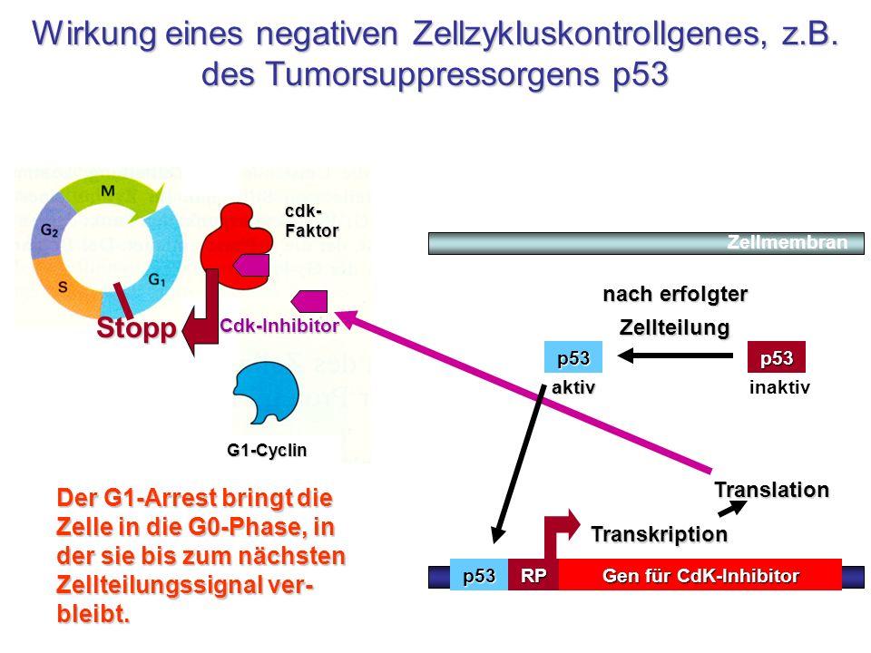 cdk- Faktor G1-Cyclin Gen für CdK-Inhibitor TATARP Transkription Translation Wirkung eines negativen Zellzykluskontrollgenes, z.B. des Tumorsuppressor