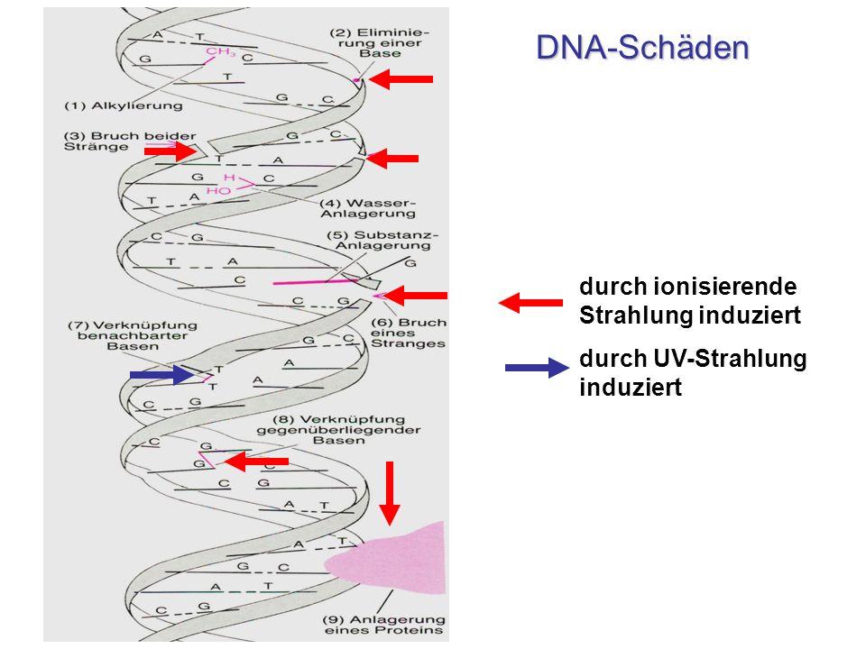 durch ionisierende Strahlung induziert durch UV-Strahlung induziert DNA-Schäden DNA-Schäden