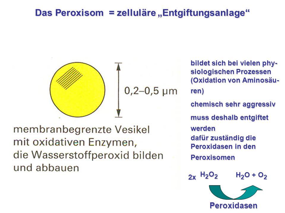 Das Peroxisom = zelluläre Entgiftungsanlage z.B. für H 2 O 2 bildet sich bei vielen phy- siologischen Prozessen (Oxidation von Aminosäu- ren) chemisch
