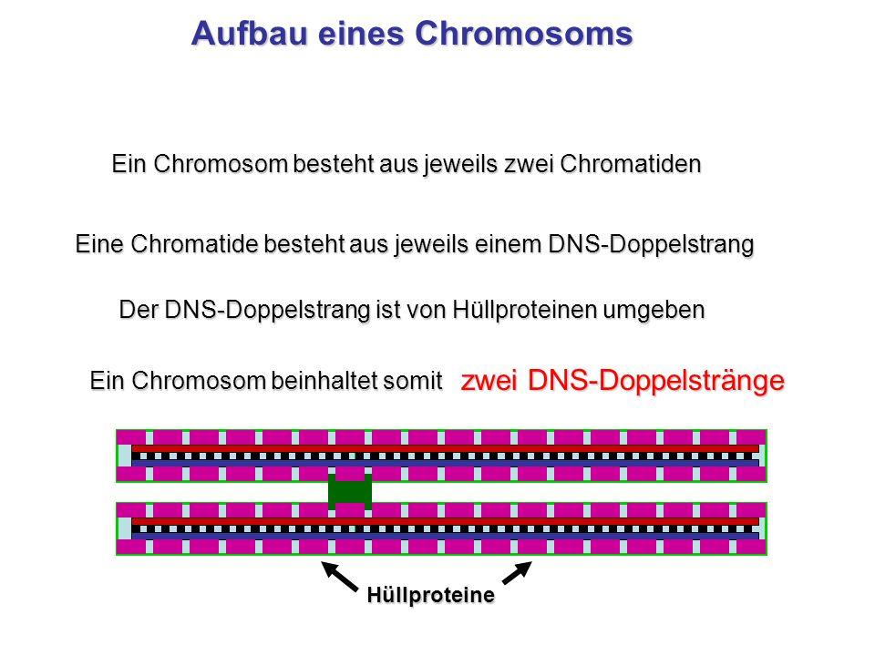 Ein Chromosom besteht aus jeweils zwei Chromatiden Eine Chromatide besteht aus jeweils einem DNS-Doppelstrang Ein Chromosom beinhaltet somit zwei DNS-