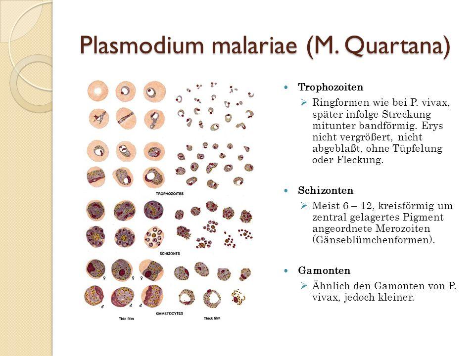 Plasmodium malariae (M. Quartana) Trophozoiten Ringformen wie bei P. vivax, später infolge Streckung mitunter bandförmig. Erys nicht vergrößert, nicht