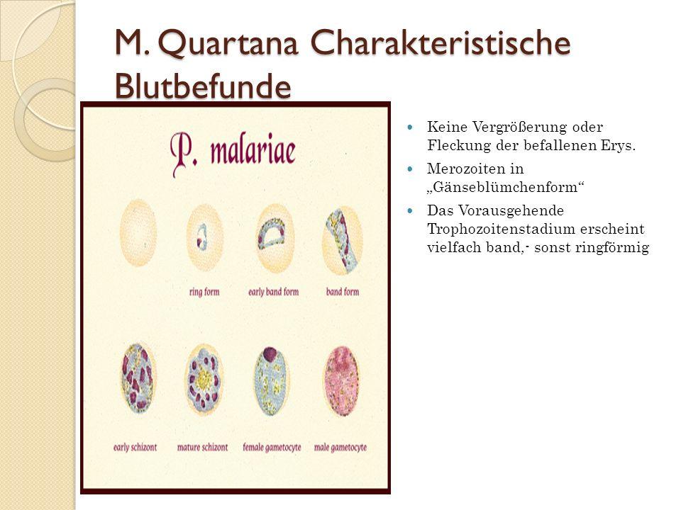 M. Quartana Charakteristische Blutbefunde Keine Vergrößerung oder Fleckung der befallenen Erys. Merozoiten in Gänseblümchenform Das Vorausgehende Trop