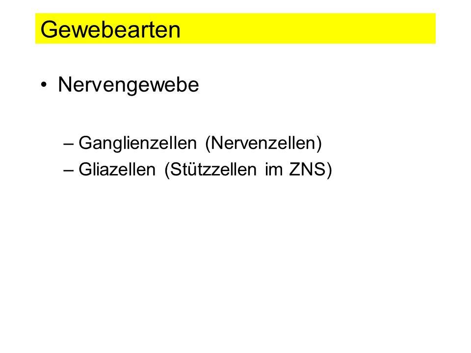 Gewebearten Nervengewebe –Ganglienzellen (Nervenzellen) –Gliazellen (Stützzellen im ZNS)